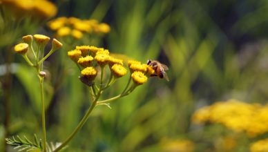 Abeille programme environnement fleur jaune